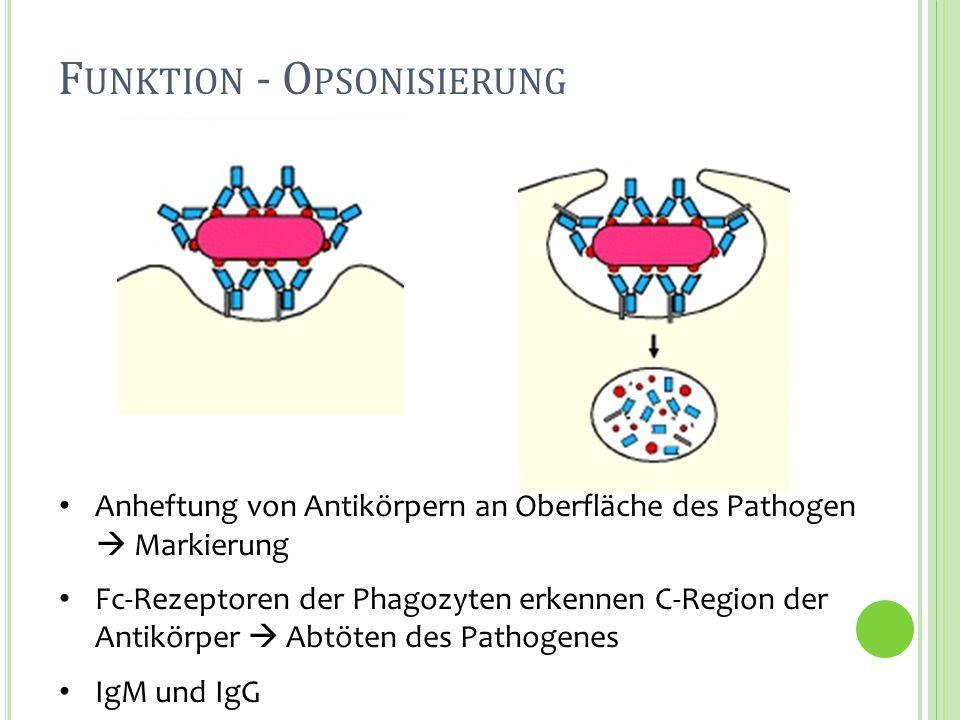F UNKTION - O PSONISIERUNG Anheftung von Antikörpern an Oberfläche des Pathogen Markierung Fc-Rezeptoren der Phagozyten erkennen C-Region der Antikörp
