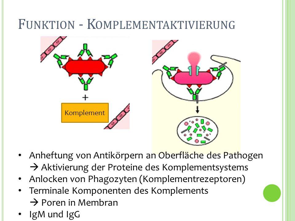 F UNKTION - K OMPLEMENTAKTIVIERUNG Anheftung von Antikörpern an Oberfläche des Pathogen Aktivierung der Proteine des Komplementsystems Anlocken von Ph