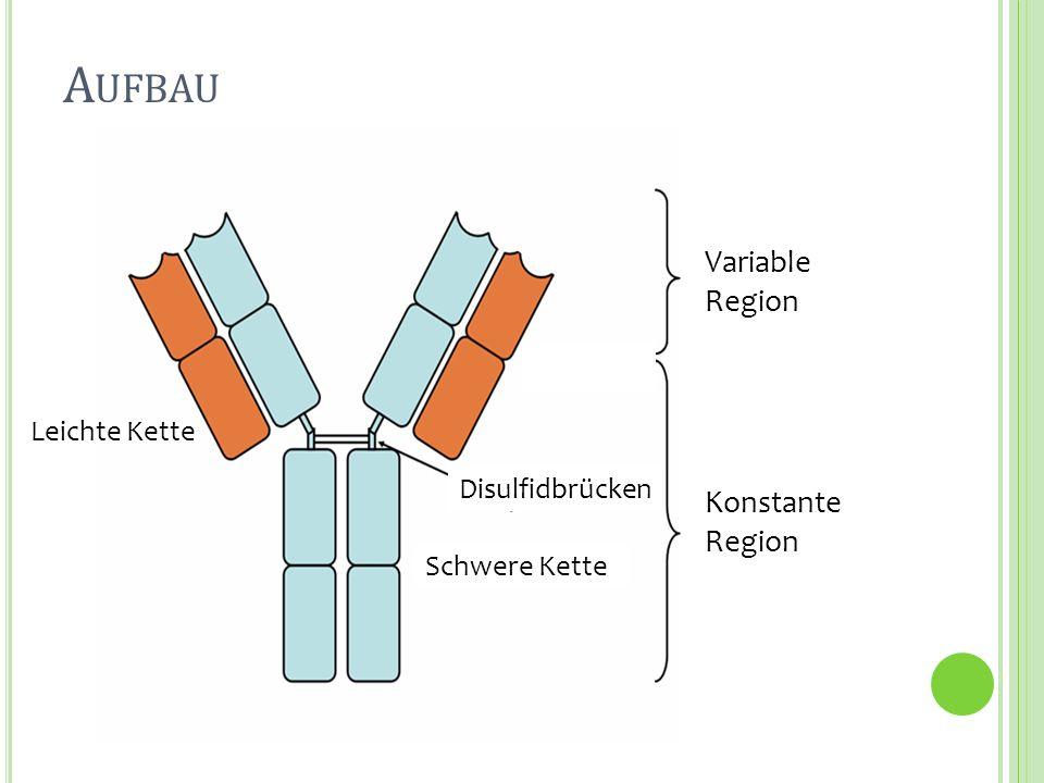 Z USAMMENFASSUNG Produktion durch Plasmazellen Adaptive Immunität 2 identischen H- Ketten & zwei identischen L-Ketten Quartärstruktur durch Disulfidbrücken 5 verschiedene Isotypen (H-Kette!) unters.
