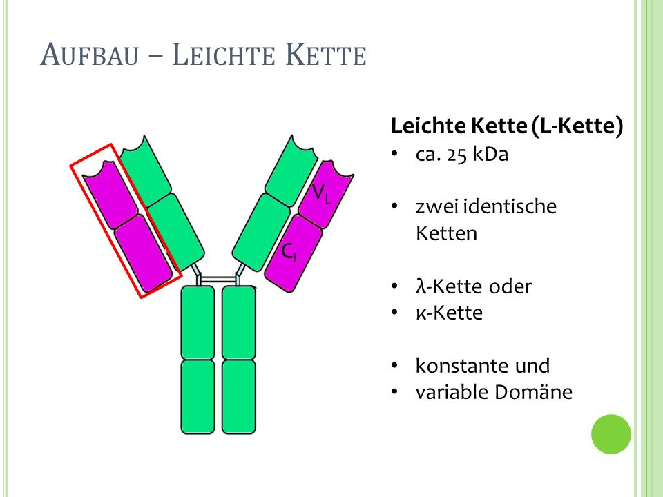 Leichte Kette (L-Kette) ca. 25 kDa zwei identische Ketten λ-Kette oder κ-Kette konstante und variable Domäne CLCL VLVL A UFBAU – L EICHTE K ETTE