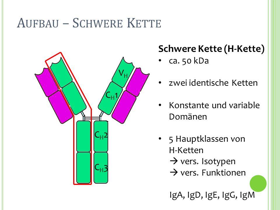 Schwere Kette (H-Kette) ca. 50 kDa zwei identische Ketten Konstante und variable Domänen 5 Hauptklassen von H-Ketten vers. Isotypen vers. Funktionen I