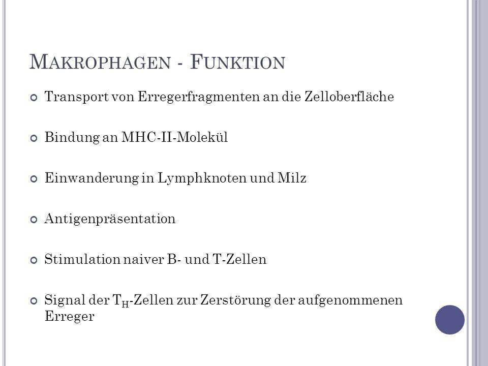 M AKROPHAGEN - F UNKTION Transport von Erregerfragmenten an die Zelloberfläche Bindung an MHC-II-Molekül Einwanderung in Lymphknoten und Milz Antigenp