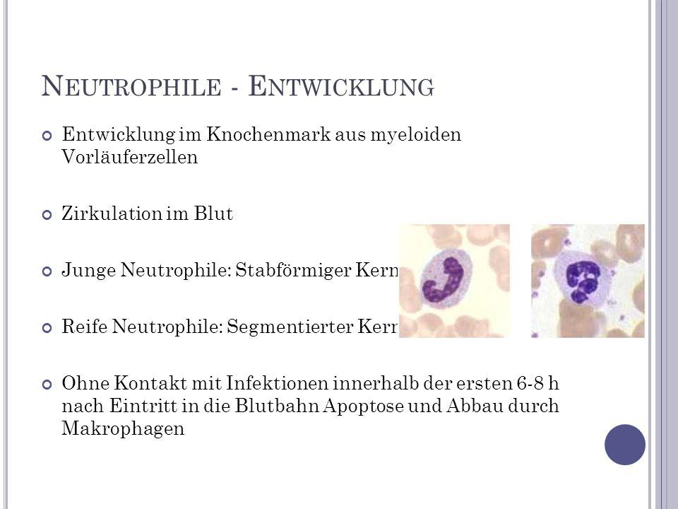 N EUTROPHILE - E NTWICKLUNG Entwicklung im Knochenmark aus myeloiden Vorläuferzellen Zirkulation im Blut Junge Neutrophile: Stabförmiger Kern Reife Ne
