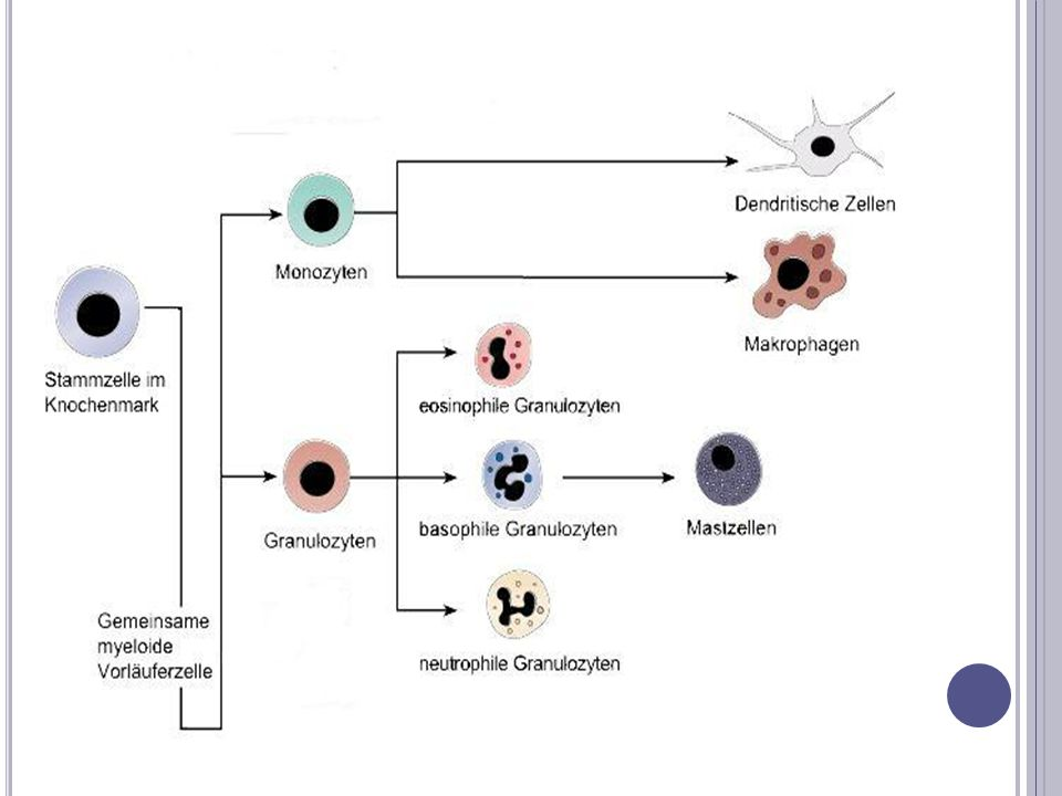 M AKROPHAGEN - A LLGEMEINES Zellen der angeborenen Immunabwehr Zuordnung zu den Leukozyten Phagozytierende Zellen Lebensdauer 2-3 Monate Unterteilung nach Lokalisierung im Organismus