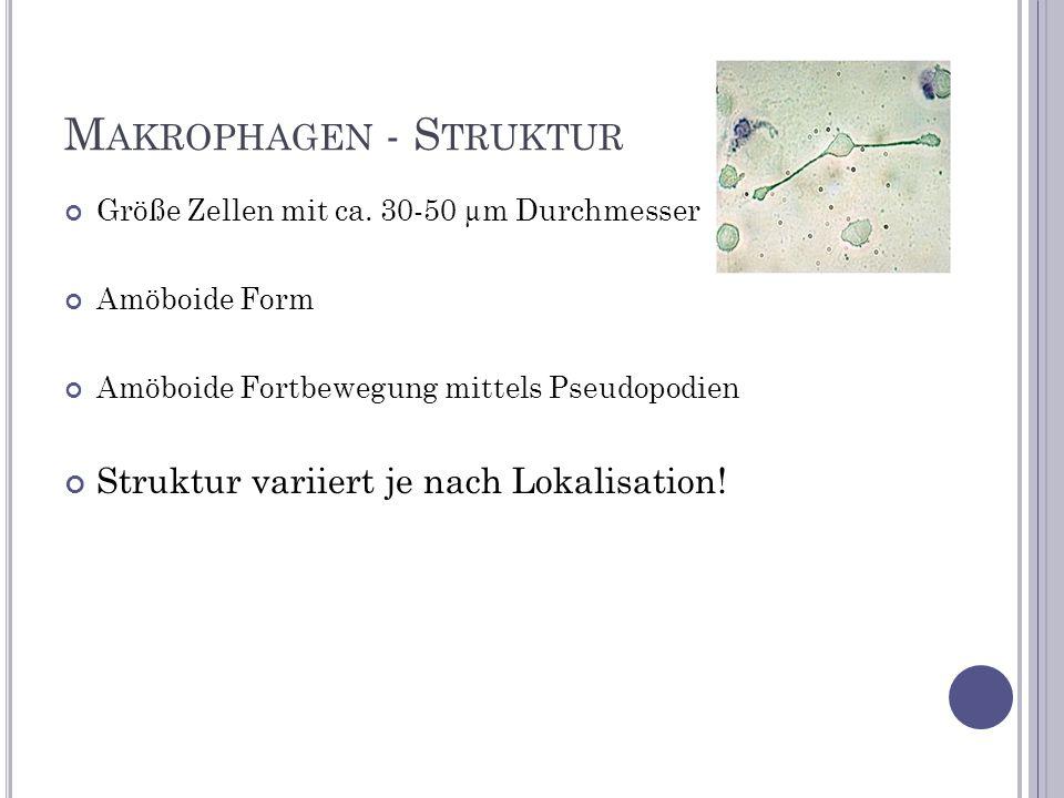 M AKROPHAGEN - F UNKTION Erkennung körperfremder Proteine/Glykoproteine (z.B.