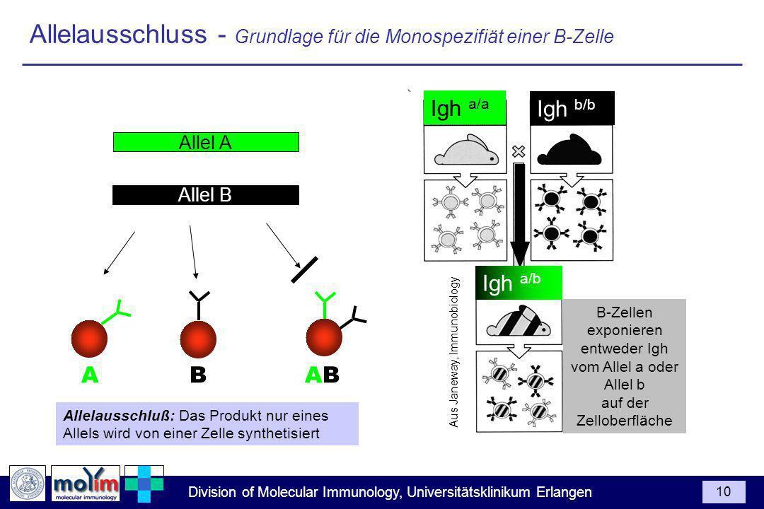 Division of Molecular Immunology, Universitätsklinikum Erlangen 10 Allelausschluss - Grundlage für die Monospezifiät einer B-Zelle Allel A Allel B Allelausschluß: Das Produkt nur eines Allels wird von einer Zelle synthetisiert A B AB B-Zellen exponieren entweder Igh vom Allel a oder Allel b auf der Zelloberfläche Aus Janeway, Immunobiology Igh a/a Igh b/b Igh a/b