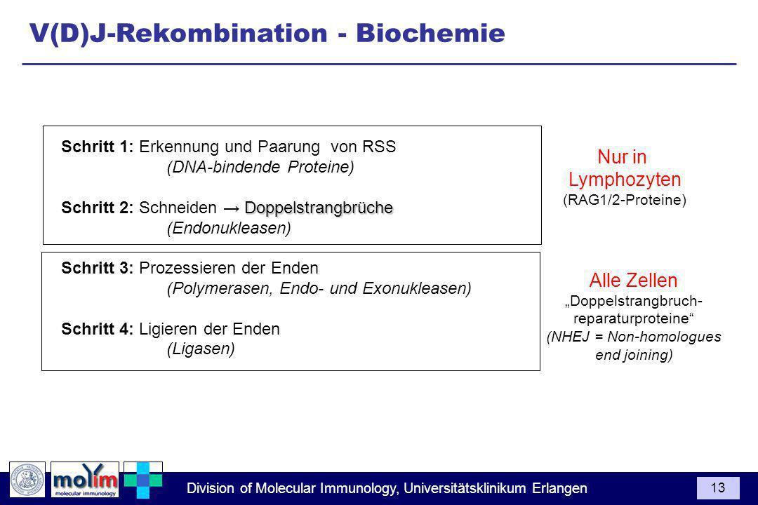 Division of Molecular Immunology, Universitätsklinikum Erlangen 13 Schritt 1: Erkennung und Paarung von RSS (DNA-bindende Proteine) Doppelstrangbrüche Schritt 2: Schneiden Doppelstrangbrüche (Endonukleasen) Schritt 3: Prozessieren der Enden (Polymerasen, Endo- und Exonukleasen) Schritt 4: Ligieren der Enden (Ligasen) Nur in Lymphozyten (RAG1/2-Proteine) Alle Zellen Doppelstrangbruch- reparaturproteine (NHEJ = Non-homologues end joining) V(D)J-Rekombination - Biochemie