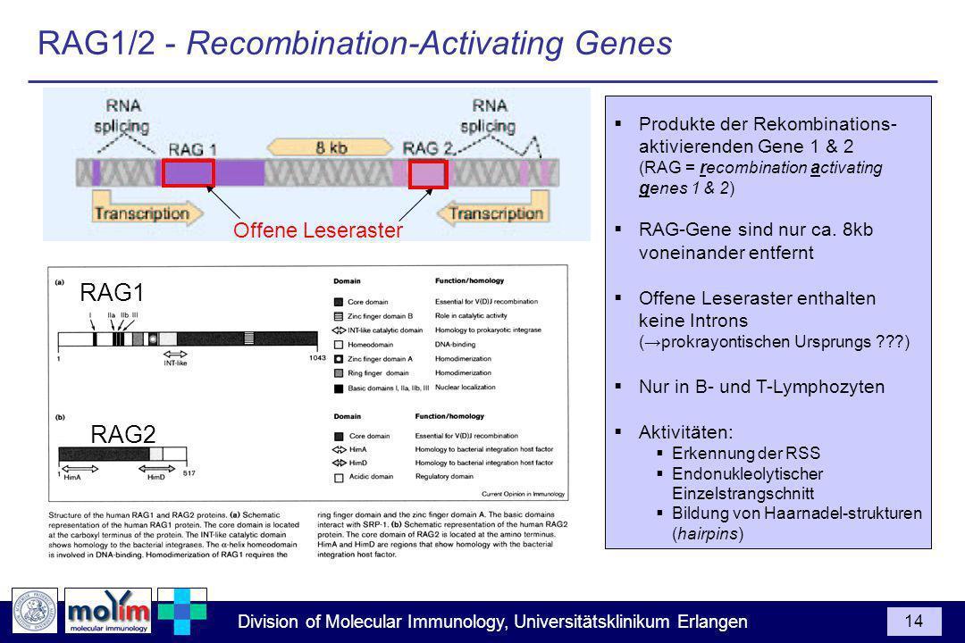 Division of Molecular Immunology, Universitätsklinikum Erlangen 14 Produkte der Rekombinations- aktivierenden Gene 1 & 2 (RAG = recombination activating genes 1 & 2) RAG-Gene sind nur ca.