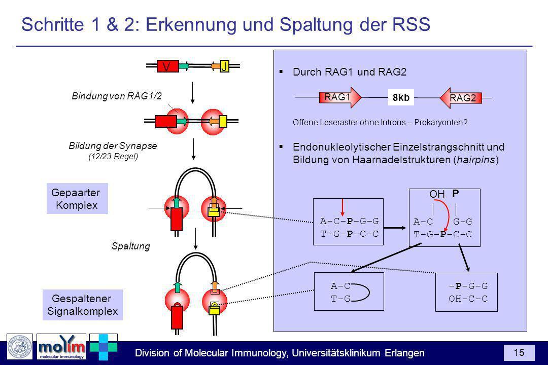 Division of Molecular Immunology, Universitätsklinikum Erlangen 15 Durch RAG1 und RAG2 Offene Leseraster ohne Introns – Prokaryonten? Endonukleolytisc
