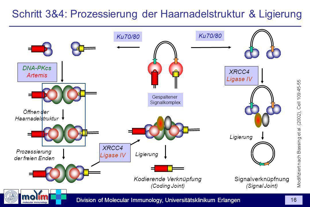 Division of Molecular Immunology, Universitätsklinikum Erlangen 16 Gespaltener Signalkomplex Ku70/80 XRCC4 Ligase IV Ligierung Signalverknüpfnung (Signal Joint) Ligierung Kodierende Verknüpfung (Coding Joint) DNA-PKcs Artemis Öffnen der Haarnadelstruktur Prozessierung der freien Enden Ku70/80 XRCC4 Ligase IV Modifiziert nach Bassing et al.