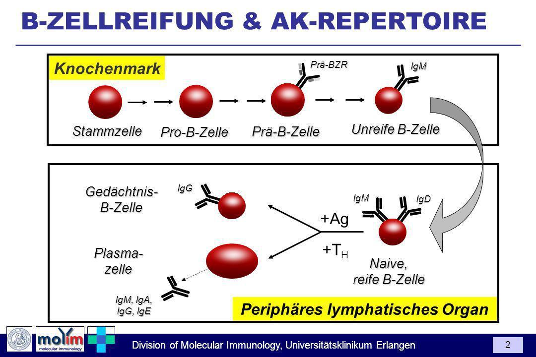 Division of Molecular Immunology, Universitätsklinikum Erlangen 2 B-ZELLREIFUNG & AK-REPERTOIRE Plasma-zelle IgM, IgA, IgG, IgE Gedächtnis-B-Zelle Naive, reife B-Zelle +Ag +T H Knochenmark Periphäres lymphatisches Organ Stammzelle Pro-B-Zelle Prä-B-Zelle Unreife B-Zelle IgM IgD IgG IgM Prä-BZR