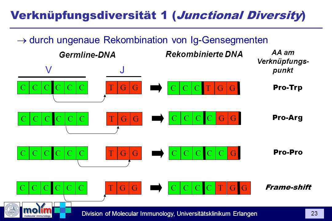 Division of Molecular Immunology, Universitätsklinikum Erlangen 23 Germline-DNA Rekombinierte DNA AA am Verknüpfungs- punkt CCCCTGCCG V J CCCCTGCCG CCCCTGCCG CCCCTGCCG Frame-shift CCCGTCG Pro-Pro CCCGCC Pro-Arg CCCGGC Pro-Trp CCCGGT durch ungenaue Rekombination von Ig-Gensegmenten Verknüpfungsdiversität 1 (Junctional Diversity)