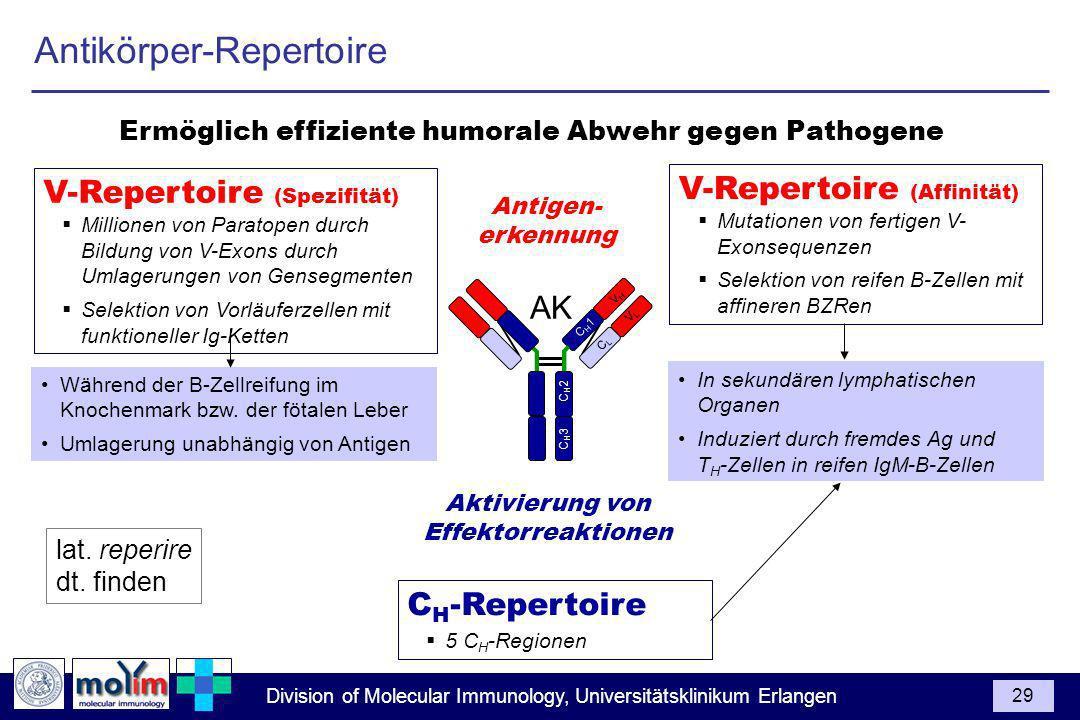 Division of Molecular Immunology, Universitätsklinikum Erlangen 29 C H 1 V H C L V L C H 3 C H 2 AK V-Repertoire (Spezifität) Millionen von Paratopen durch Bildung von V-Exons durch Umlagerungen von Gensegmenten Selektion von Vorläuferzellen mit funktioneller Ig-Ketten Aktivierung von Effektorreaktionen C H -Repertoire 5 C H -Regionen Ermöglich effiziente humorale Abwehr gegen Pathogene V-Repertoire (Affinität) Mutationen von fertigen V- Exonsequenzen Selektion von reifen B-Zellen mit affineren BZRen In sekundären lymphatischen Organen Induziert durch fremdes Ag und T H -Zellen in reifen IgM-B-Zellen Während der B-Zellreifung im Knochenmark bzw.