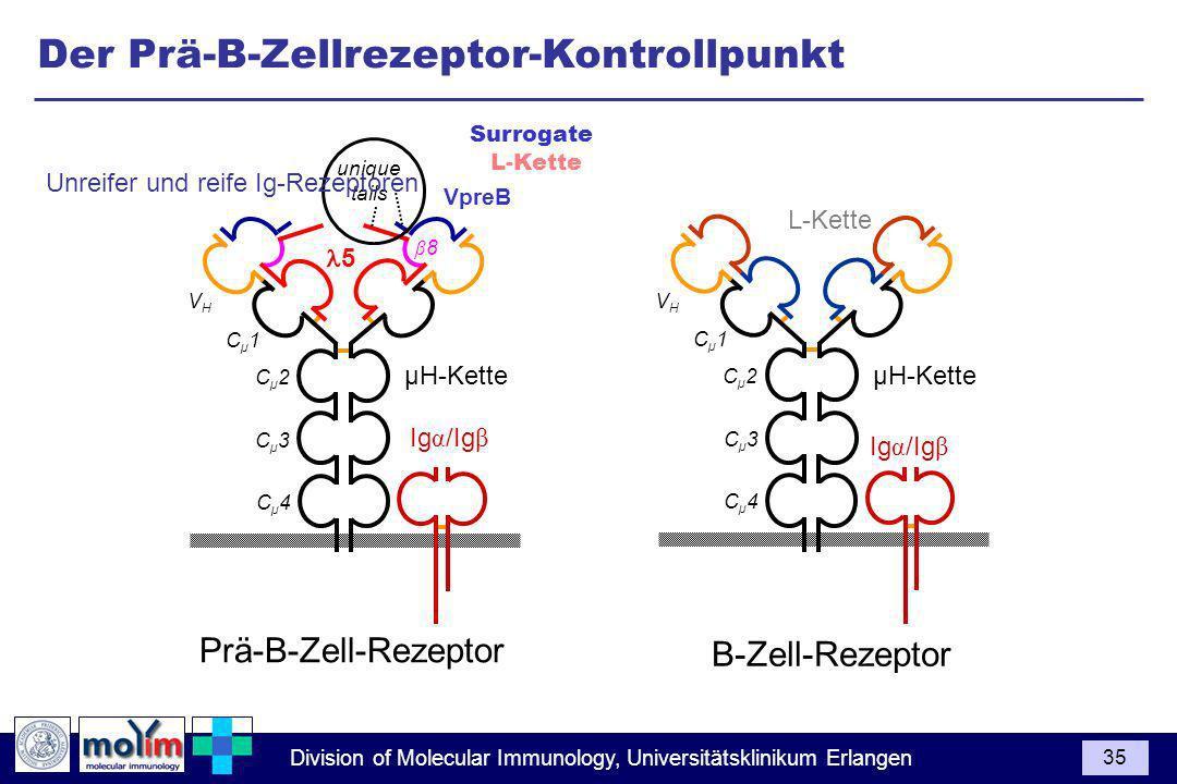 Division of Molecular Immunology, Universitätsklinikum Erlangen 35 Ig α /Ig β Cµ1Cµ1 Cµ2Cµ2 Cµ3Cµ3 Cµ4Cµ4 VHVH L-Kette µH-Kette Cµ1Cµ1 Cµ2Cµ2 Cµ3Cµ3 Cµ4Cµ4 VHVH VpreB 5 µH-Kette β8β8 Ig α /Ig β unique tails Prä-B-Zell-Rezeptor B-Zell-Rezeptor Der Prä-B-Zellrezeptor-Kontrollpunkt Surrogate L-Kette Unreifer und reife Ig-Rezeptoren