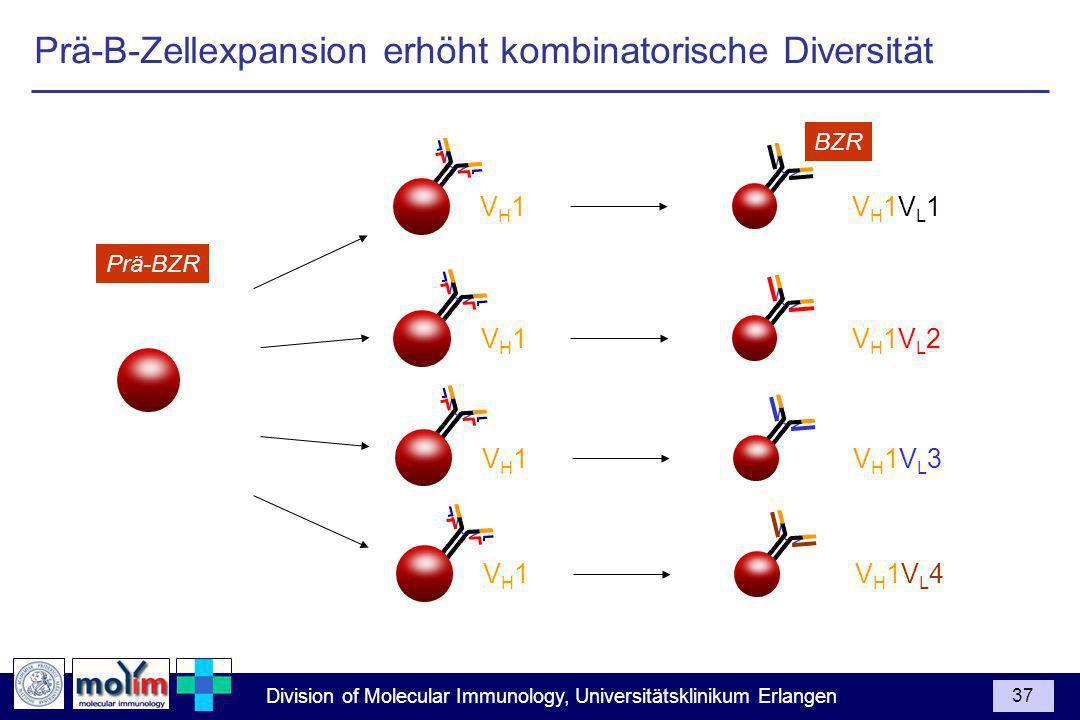 Division of Molecular Immunology, Universitätsklinikum Erlangen 37 Prä-BZR VH1VH1VH1VL1VH1VL1 BZR VH1VH1VH1VL2VH1VL2 VH1VH1VH1VL3VH1VL3 VH1VH1VH1VL4VH1VL4 Prä-B-Zellexpansion erhöht kombinatorische Diversität