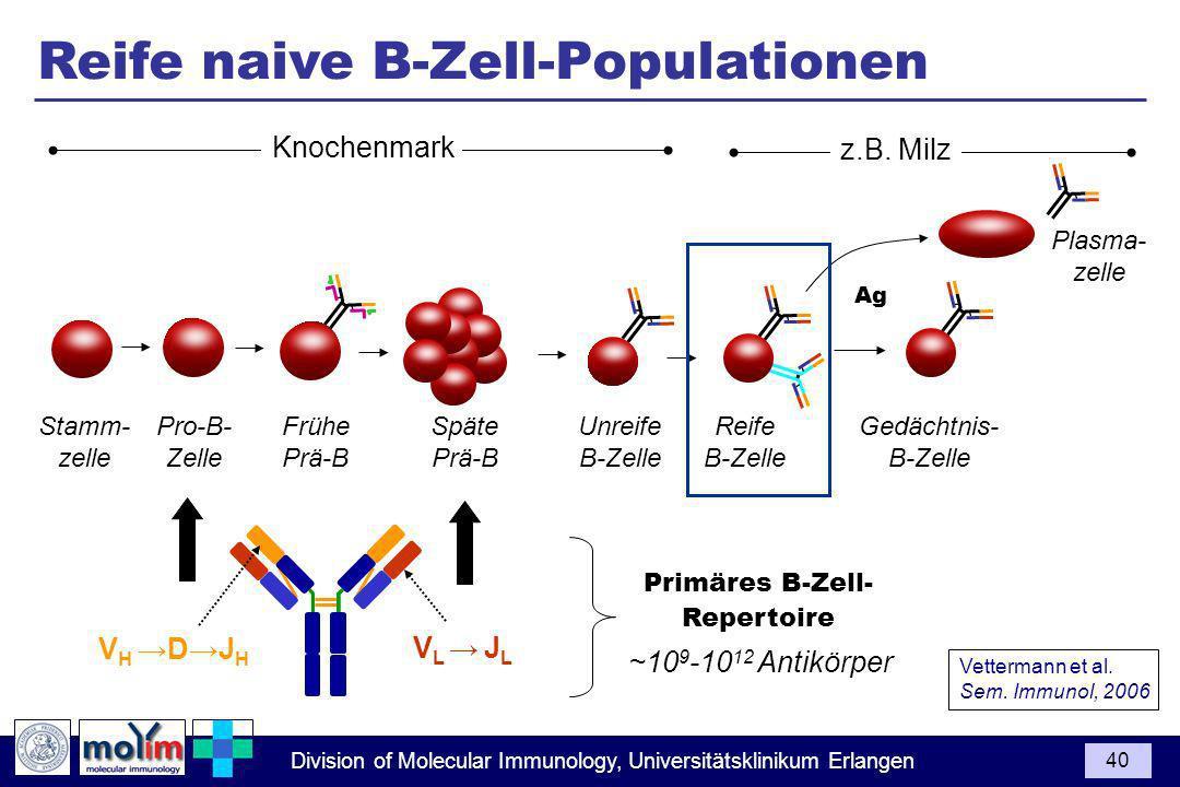 Division of Molecular Immunology, Universitätsklinikum Erlangen 40 Pro-B- Zelle Späte Prä-B Unreife B-Zelle Frühe Prä-B Stamm- zelle Vettermann et al.