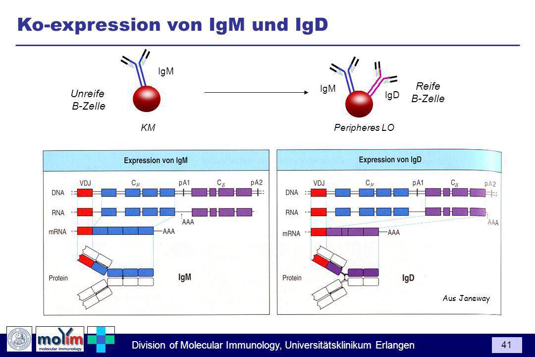 Division of Molecular Immunology, Universitätsklinikum Erlangen 41 Ko-expression von IgM und IgD Aus Janeway Unreife B-Zelle Reife B-Zelle KM Peripheres LO IgM IgD IgM