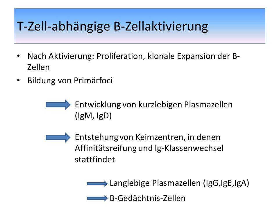 T-Zell-abhängige B-Zellaktivierung Nach Aktivierung: Proliferation, klonale Expansion der B- Zellen Bildung von Primärfoci Entwicklung von kurzlebigen
