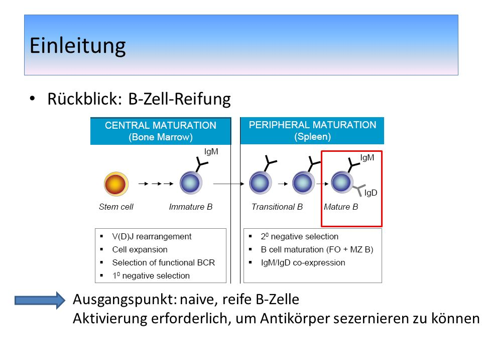 Einleitung Rückblick: B-Zell-Reifung Ausgangspunkt: naive, reife B-Zelle Aktivierung erforderlich, um Antikörper sezernieren zu können