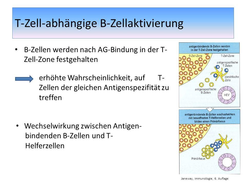 T-Zell-abhängige B-Zellaktivierung B-Zellen werden nach AG-Bindung in der T- Zell-Zone festgehalten erhöhte Wahrscheinlichkeit, auf T- Zellen der glei