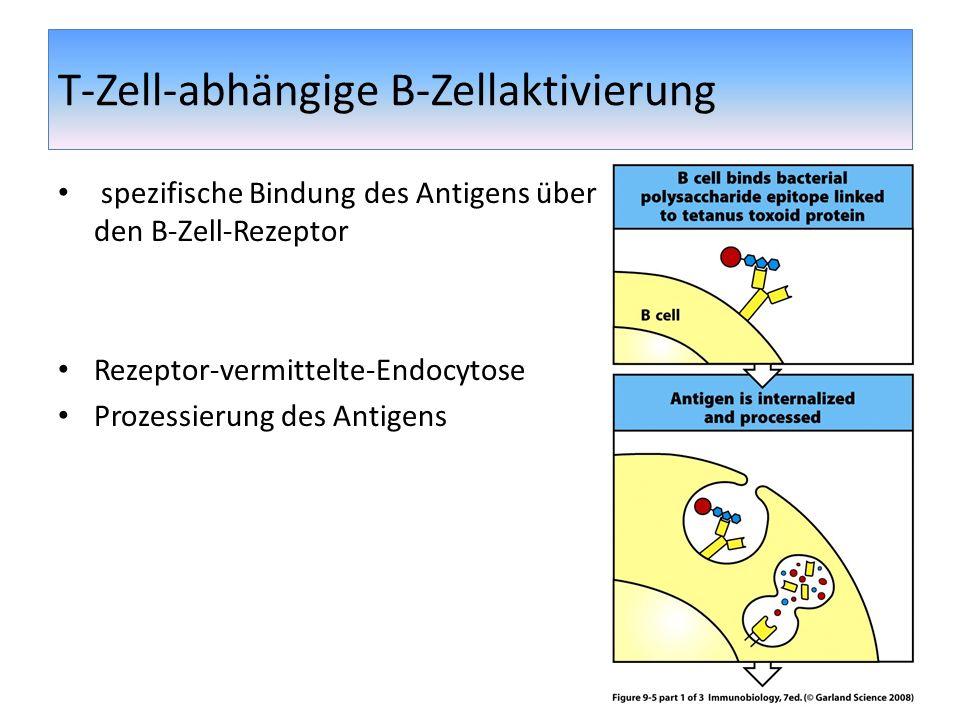 T-Zell-abhängige B-Zellaktivierung spezifische Bindung des Antigens über den B-Zell-Rezeptor Rezeptor-vermittelte-Endocytose Prozessierung des Antigen