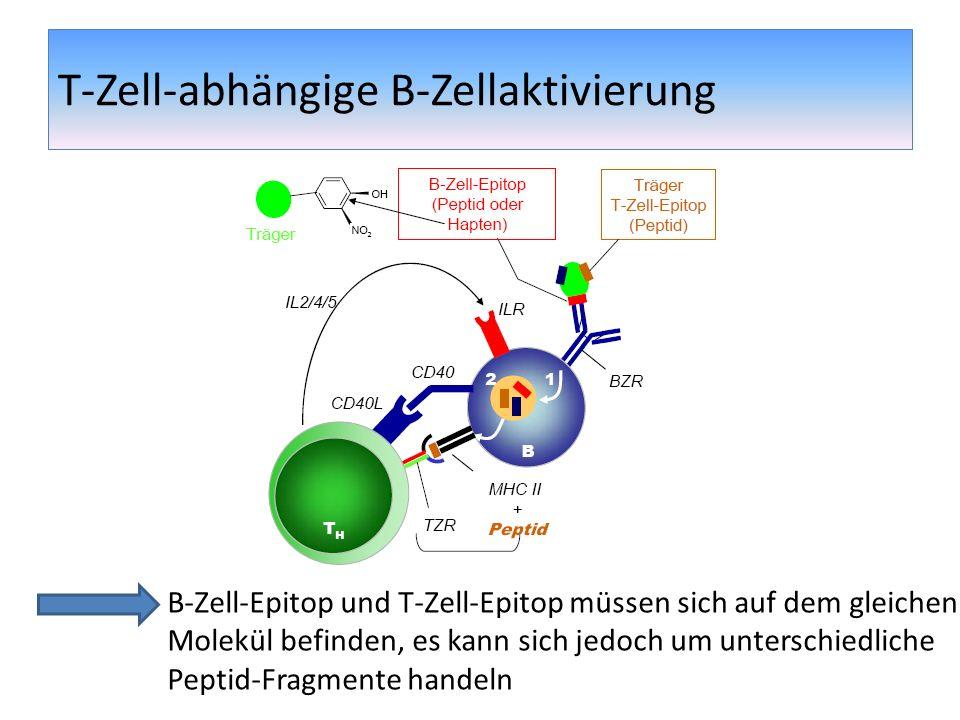 T-Zell-abhängige B-Zellaktivierung Nach Aktivierung: Proliferation, klonale Expansion der B- Zellen Bildung von Primärfoci Entwicklung von kurzlebigen Plasmazellen (IgM, IgD) Entstehung von Keimzentren, in denen Affinitätsreifung und Ig-Klassenwechsel stattfindet Langlebige Plasmazellen (IgG,IgE,IgA) B-Gedächtnis-Zellen