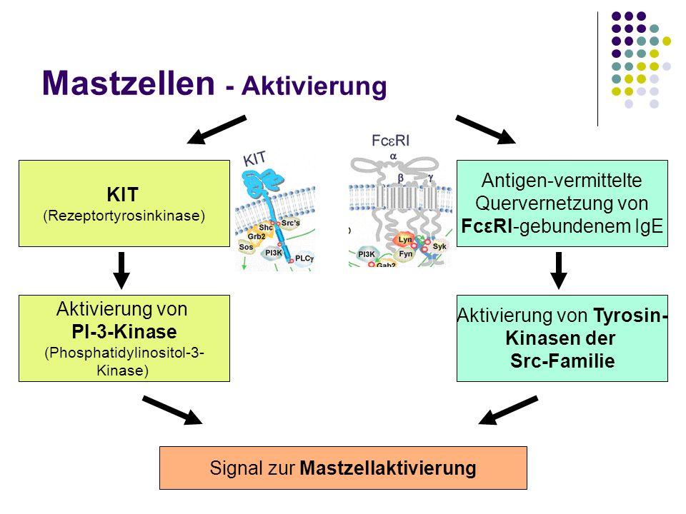 Mastzellen - Aktivierung KIT (Rezeptortyrosinkinase) Aktivierung von PI-3-Kinase (Phosphatidylinositol-3- Kinase) Signal zur Mastzellaktivierung Antig