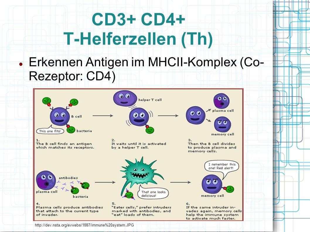 CD3+ CD4+ T-Helferzellen (Th) Erkennen Antigen im MHCII-Komplex (Co- Rezeptor: CD4) http://dev.nsta.org/evwebs/1887/immune%20system.JPG