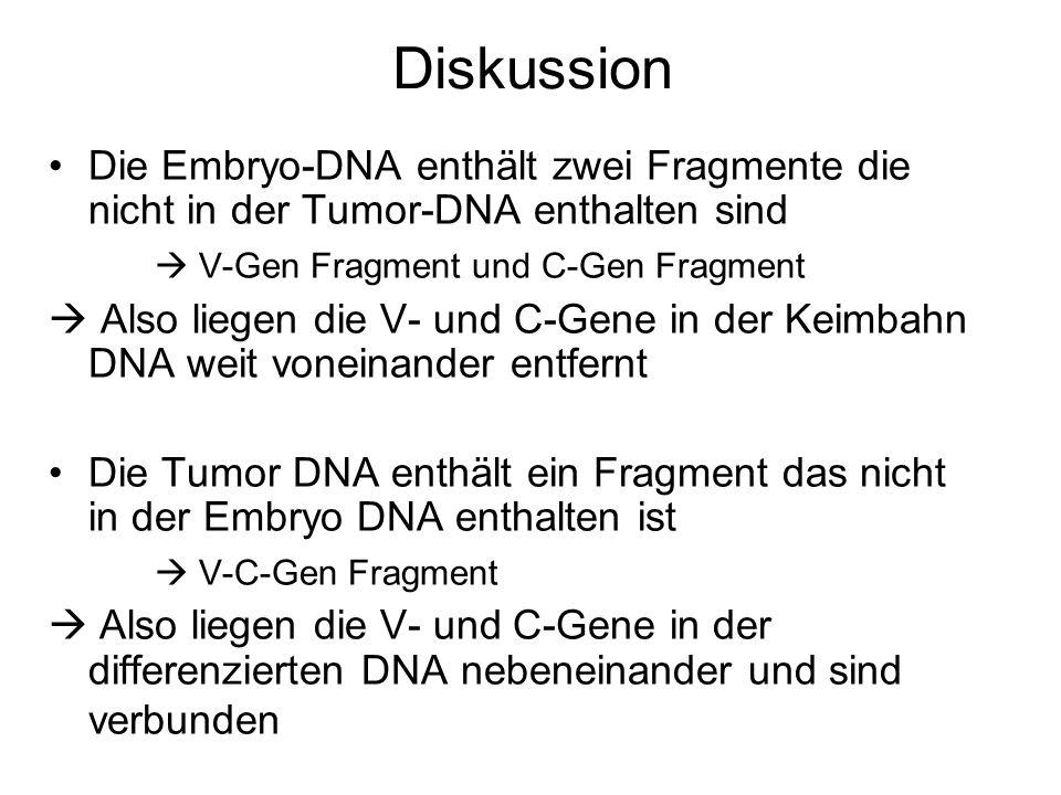 Diskussion Die Embryo-DNA enthält zwei Fragmente die nicht in der Tumor-DNA enthalten sind V-Gen Fragment und C-Gen Fragment Also liegen die V- und C-