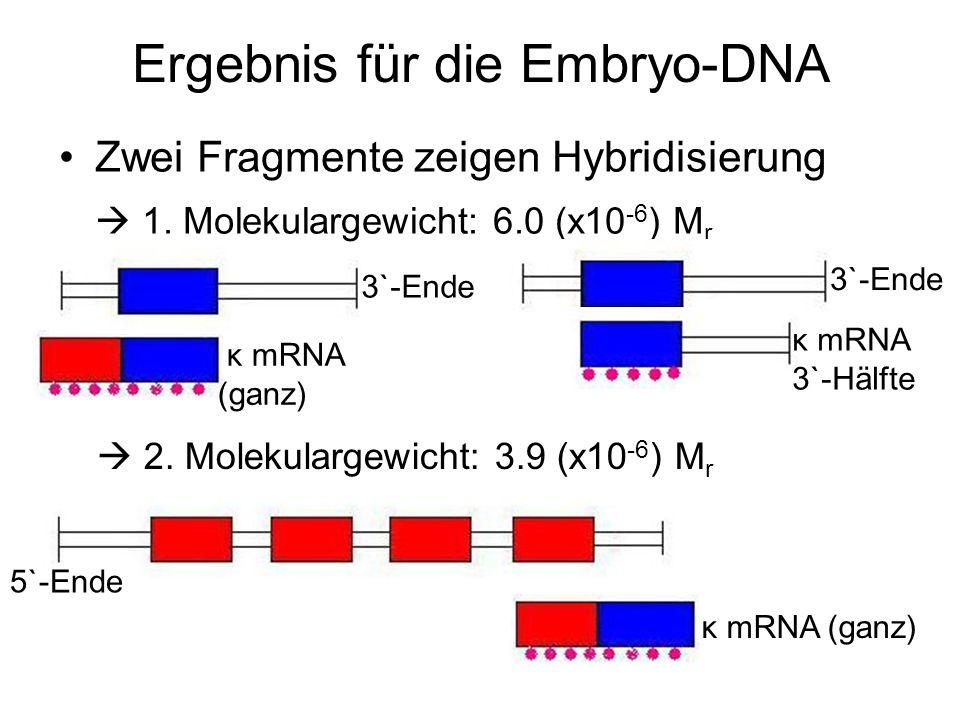 Ergebnis für die Embryo-DNA Zwei Fragmente zeigen Hybridisierung 1. Molekulargewicht: 6.0 (x10 -6 ) M r 3`-Ende κ mRNA (ganz) κ mRNA 3`-Hälfte 2. Mole