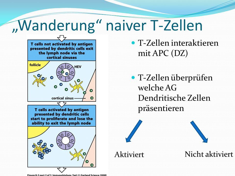 Wanderung naiver T-Zellen T-Zellen interaktieren mit APC (DZ) T-Zellen überprüfen welche AG Dendritische Zellen präsentieren Aktiviert Nicht aktiviert