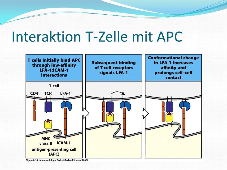 Interaktion T-Zelle mit APC