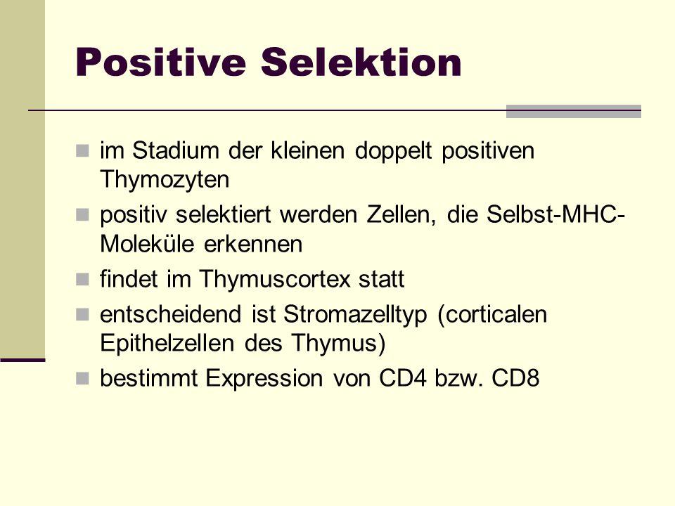 Positive Selektion im Stadium der kleinen doppelt positiven Thymozyten positiv selektiert werden Zellen, die Selbst-MHC- Moleküle erkennen findet im T