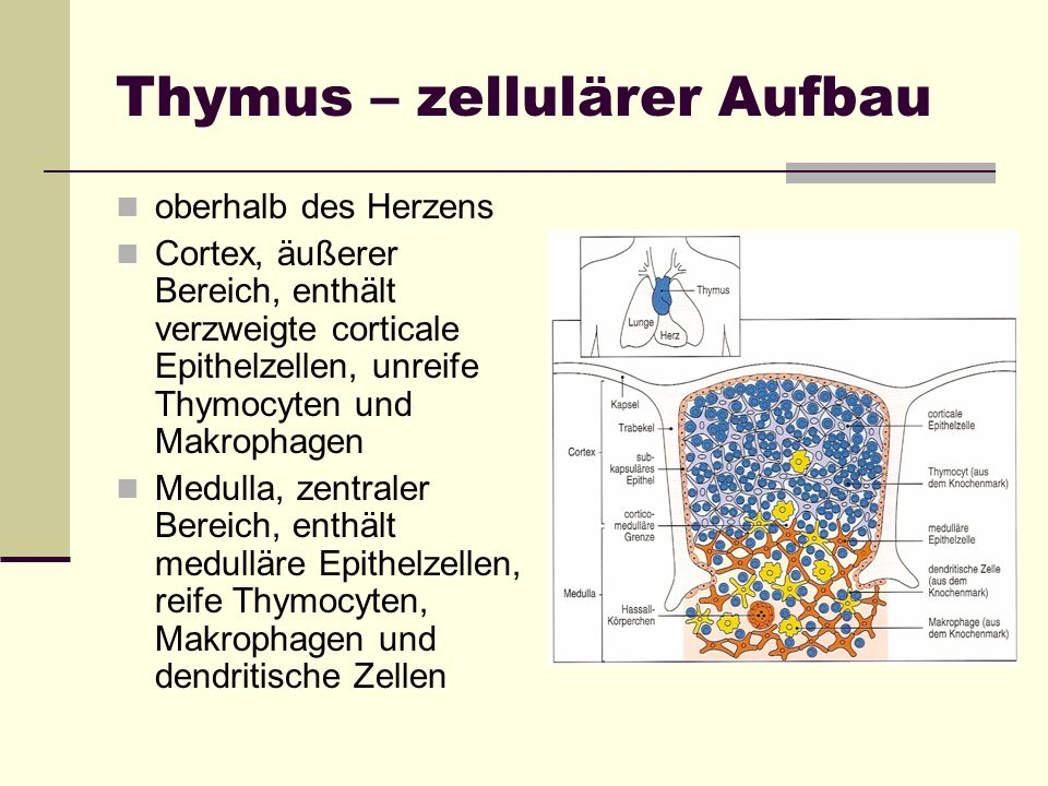 Thymus – zellulärer Aufbau oberhalb des Herzens Cortex, äußerer Bereich, enthält verzweigte corticale Epithelzellen, unreife Thymocyten und Makrophage
