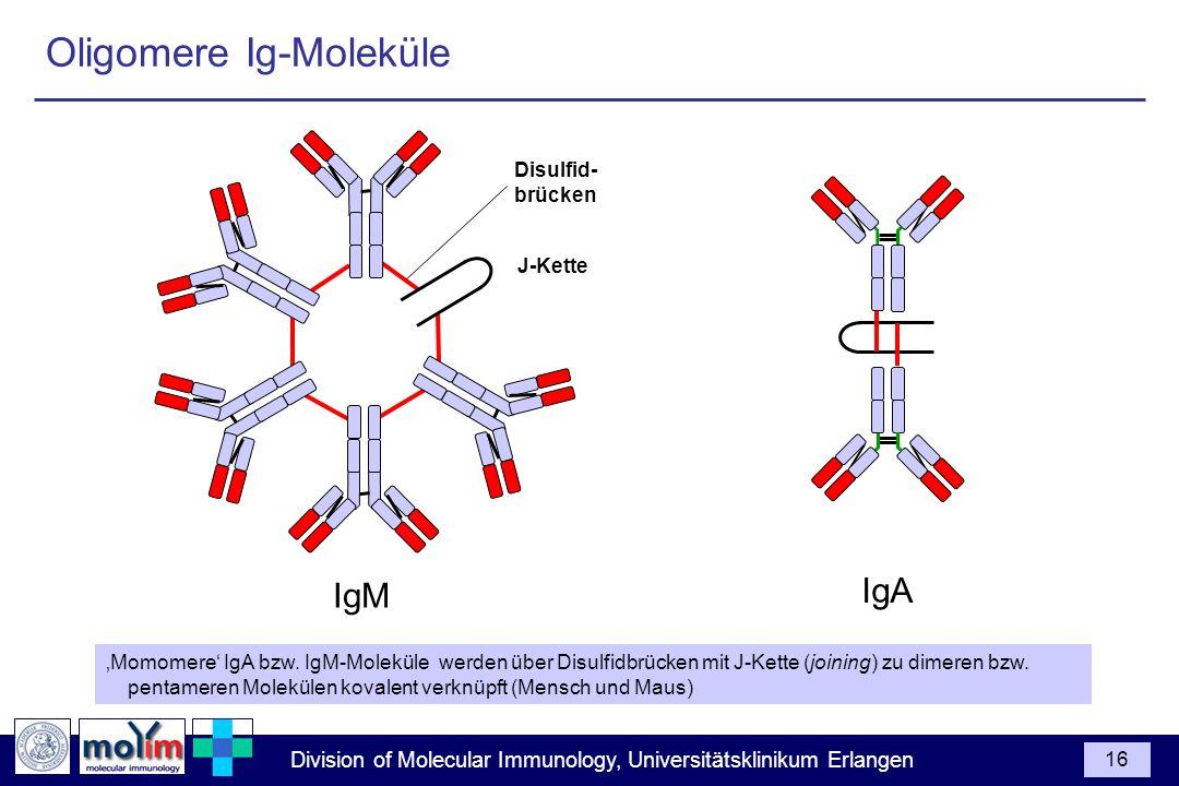 Division of Molecular Immunology, Universitätsklinikum Erlangen 16 Disulfid- brücken IgA Momomere IgA bzw. IgM-Moleküle werden über Disulfidbrücken mi