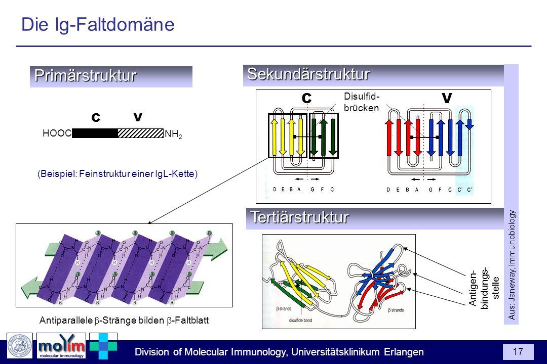 Division of Molecular Immunology, Universitätsklinikum Erlangen 17Sekundärstruktur C V Primärstruktur C V NH 2 HOOC Disulfid- brücken Antiparallele -S