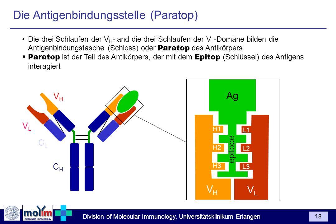 Division of Molecular Immunology, Universitätsklinikum Erlangen 18 Die drei Schlaufen der V H - and die drei Schlaufen der V L -Domäne bilden die Anti