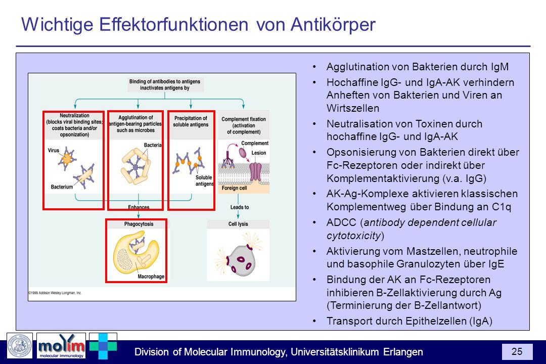 Division of Molecular Immunology, Universitätsklinikum Erlangen 25 Agglutination von Bakterien durch IgM Hochaffine IgG- und IgA-AK verhindern Anhefte