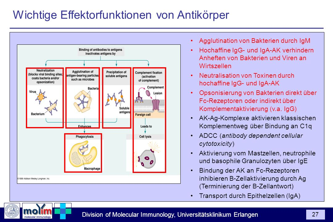 Division of Molecular Immunology, Universitätsklinikum Erlangen 27 Agglutination von Bakterien durch IgM Hochaffine IgG- und IgA-AK verhindern Anhefte