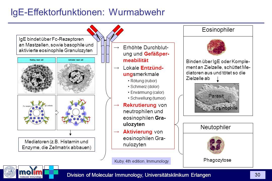 Division of Molecular Immunology, Universitätsklinikum Erlangen 30 IgE bindet über Fc-Rezeptoren an Mastzellen, sowie basophile und aktivierte eosinop