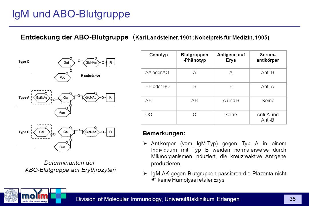 Division of Molecular Immunology, Universitätsklinikum Erlangen 35 IgM und ABO-Blutgruppe GenotypBlutgruppen -Phänotyp Antigene auf Erys AA oder AOAA