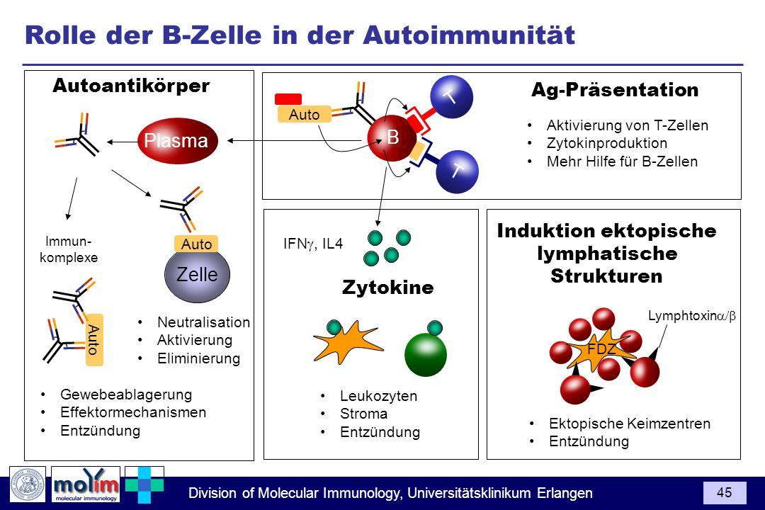 Division of Molecular Immunology, Universitätsklinikum Erlangen 45 Ag-Präsentation Aktivierung von T-Zellen Zytokinproduktion Mehr Hilfe für B-Zellen