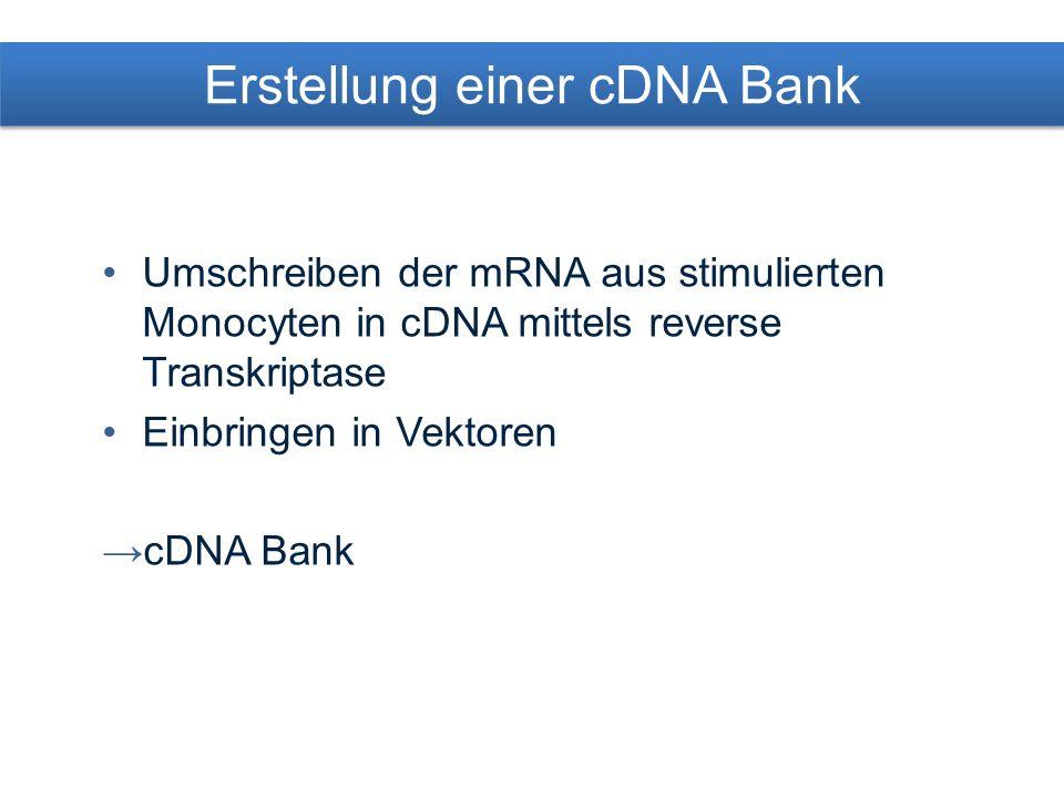 Klone mit stimulationsspezifischer cDNA Stimulierte Monocyten Unstimulierte Monocyten mRNA stim mRNA unstim 32 P cDNA stim 32 P cDNA unstim Klone mit stimulations- spezifischer cDNA