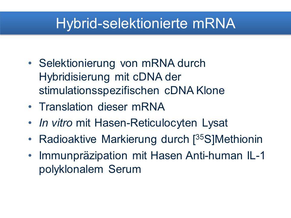 Hybrid-selektionierte mRNA Selektionierung von mRNA durch Hybridisierung mit cDNA der stimulationsspezifischen cDNA Klone Translation dieser mRNA In vitro mit Hasen-Reticulocyten Lysat Radioaktive Markierung durch [ 35 S]Methionin Immunpräzipation mit Hasen Anti-human IL-1 polyklonalem Serum