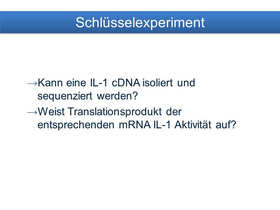 Schlüsselexperiment Kann eine IL-1 cDNA isoliert und sequenziert werden.