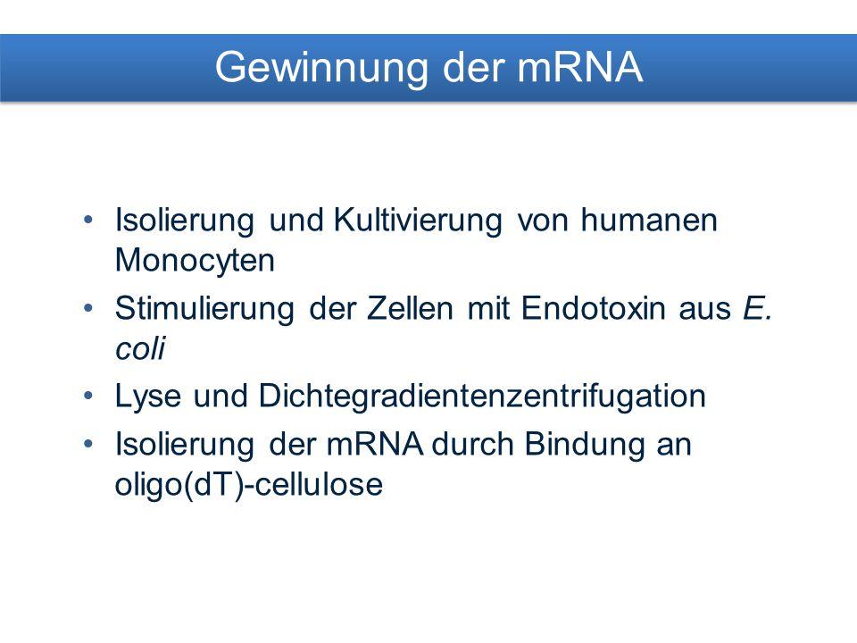 Erstellung einer cDNA Bank Umschreiben der mRNA aus stimulierten Monocyten in cDNA mittels reverse Transkriptase Einbringen in Vektoren cDNA Bank