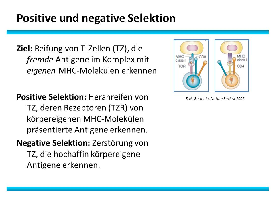 Ziel: Reifung von T-Zellen (TZ), die fremde Antigene im Komplex mit eigenen MHC-Molekülen erkennen Positive Selektion: Heranreifen von TZ, deren Rezeptoren (TZR) von körpereigenen MHC-Molekülen präsentierte Antigene erkennen.