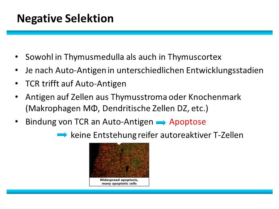 Negative Selektion Sowohl in Thymusmedulla als auch in Thymuscortex Je nach Auto-Antigen in unterschiedlichen Entwicklungsstadien TCR trifft auf Auto-Antigen Antigen auf Zellen aus Thymusstroma oder Knochenmark (Makrophagen MΦ, Dendritische Zellen DZ, etc.) Bindung von TCR an Auto-Antigen Apoptose keine Entstehung reifer autoreaktiver T-Zellen