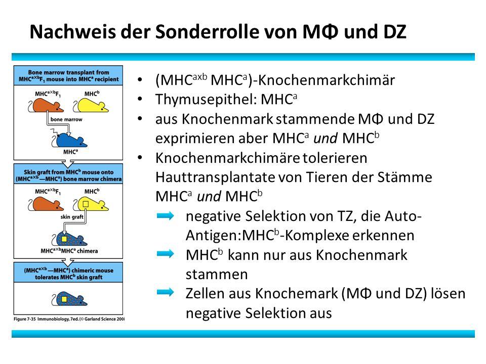 Nachweis der Sonderrolle von MΦ und DZ (MHC axb MHC a )-Knochenmarkchimär Thymusepithel: MHC a aus Knochenmark stammende MΦ und DZ exprimieren aber MHC a und MHC b Knochenmarkchimäre tolerieren Hauttransplantate von Tieren der Stämme MHC a und MHC b negative Selektion von TZ, die Auto- Antigen:MHC b -Komplexe erkennen MHC b kann nur aus Knochenmark stammen Zellen aus Knochemark (MΦ und DZ) lösen negative Selektion aus
