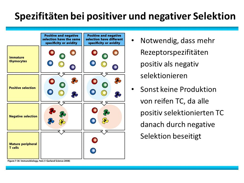 Spezifitäten bei positiver und negativer Selektion Notwendig, dass mehr Rezeptorspezifitäten positiv als negativ selektionieren Sonst keine Produktion von reifen TC, da alle positiv selektionierten TC danach durch negative Selektion beseitigt